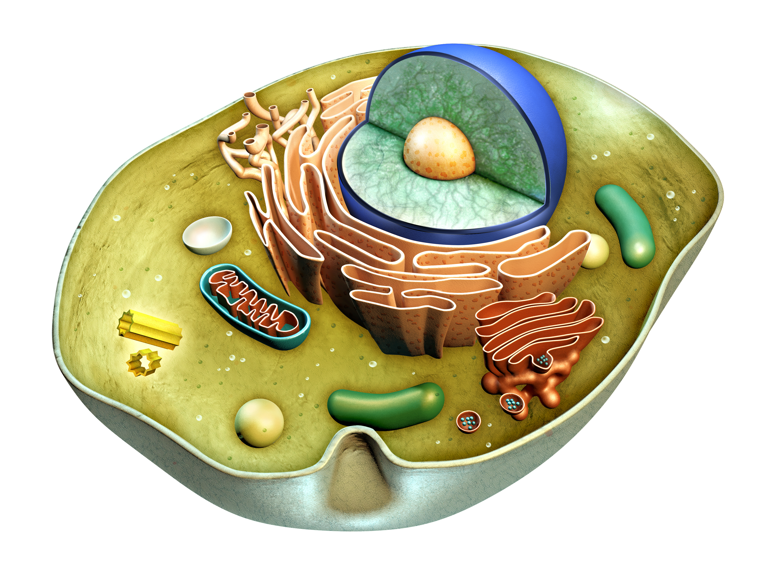 human cell clipart - photo #37